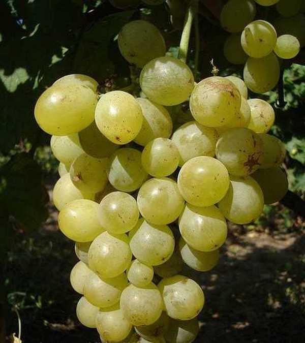 Виноградины имеют достаточно толстую кожицу