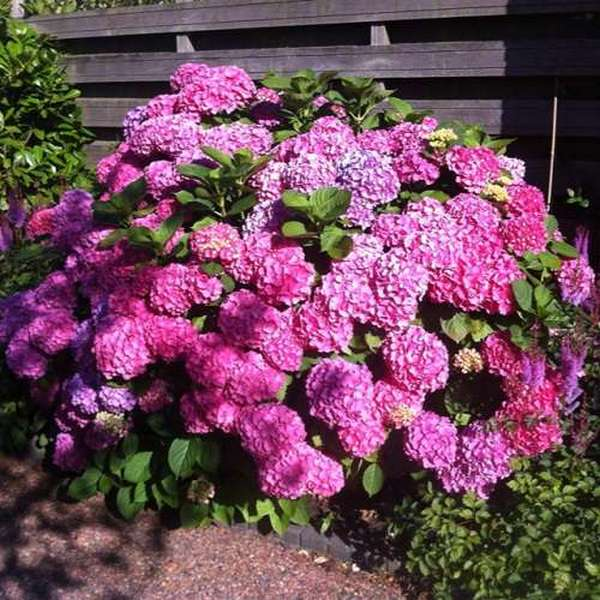Размножать гортензию отводками нужно либо ранней весной, либо поздней осенью