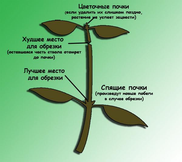 Важно регулярно обрезать растение