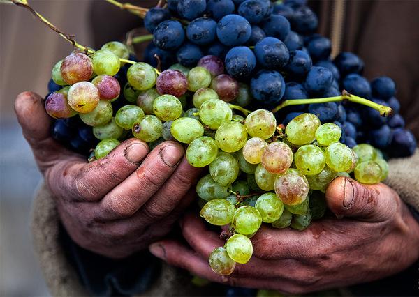 Стоит узнать о тонкостях выращивания винограда у опытных в этом деле людей