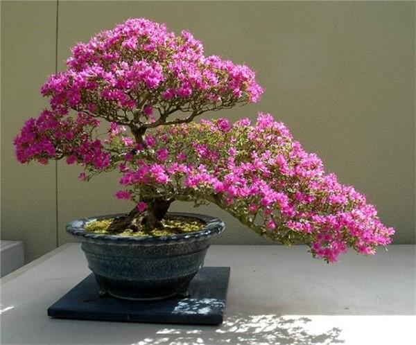 История бонсаев началась во времена самураев, пользовавшихся этими деревьями в качестве талисманов