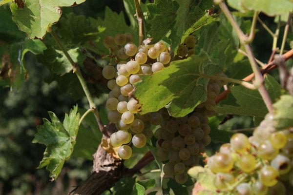 Хорошо растет виноград на юге России