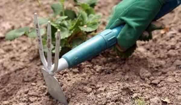 Нужно рыхлить почву, на которой растет розмарин