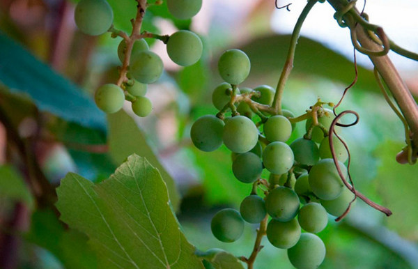 Созревает такой виноград только на 2-3 год после посадки