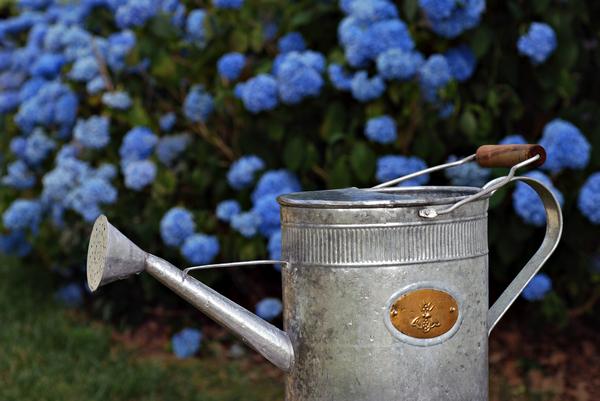 Важно поливать как основной куст, так и отводку