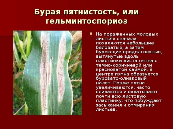 Такой цветок может заболеть пятнистостью