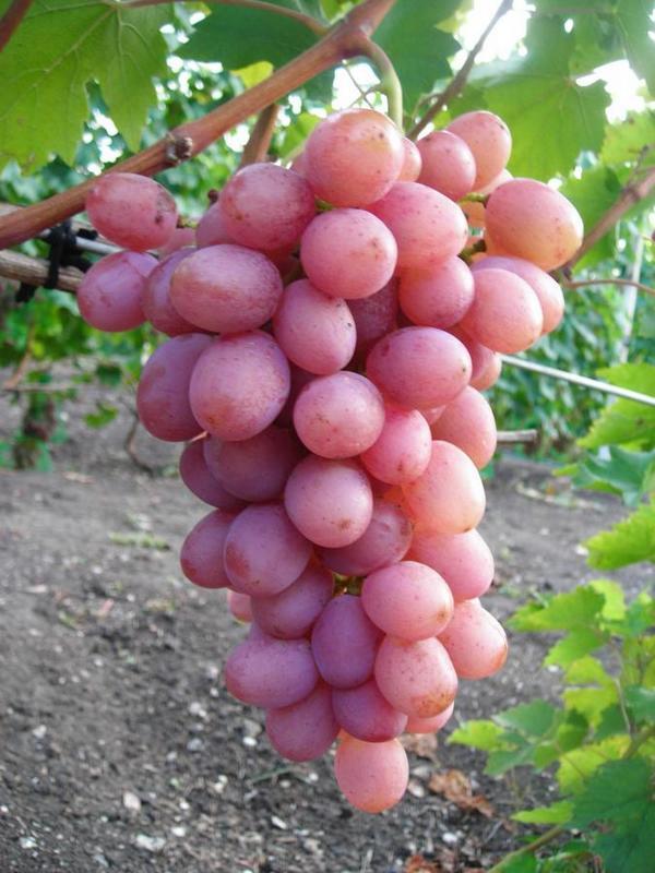 Виноград Гурман