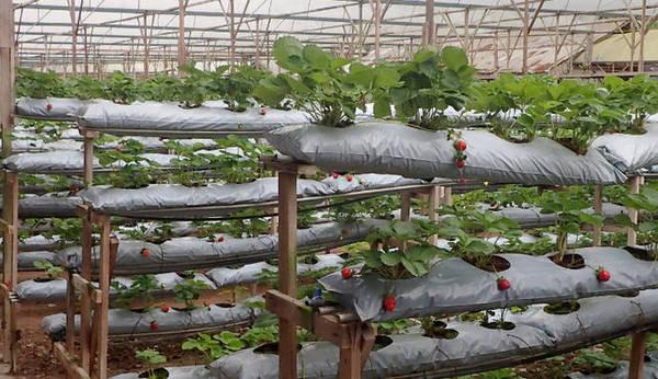 Лучше высаживать клубнику в мешках, укладывая их горизонтально или вертикально