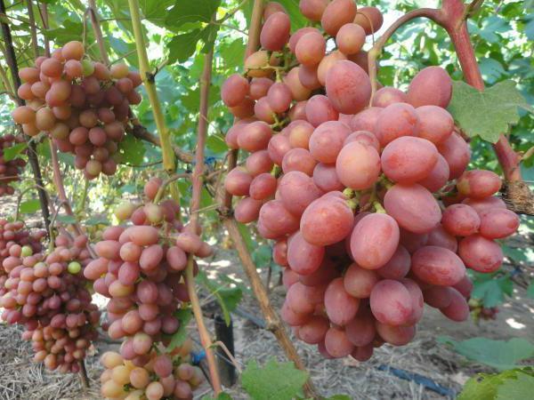 Один куст такого винограда может дать до 10 кг плодов
