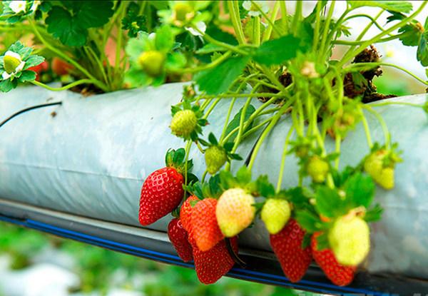 Важно правильно посадить кусты клубники
