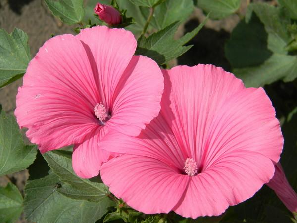 Известен цветок за свои лекарственные свойства