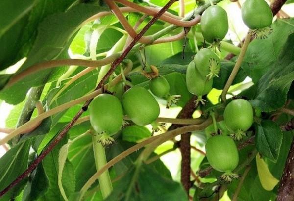 Актинидия весьма успешно выращивается и плодоносит даже на территории северных регионов России, например, в Сибири, так как выдерживает действительно экстремальные температуры