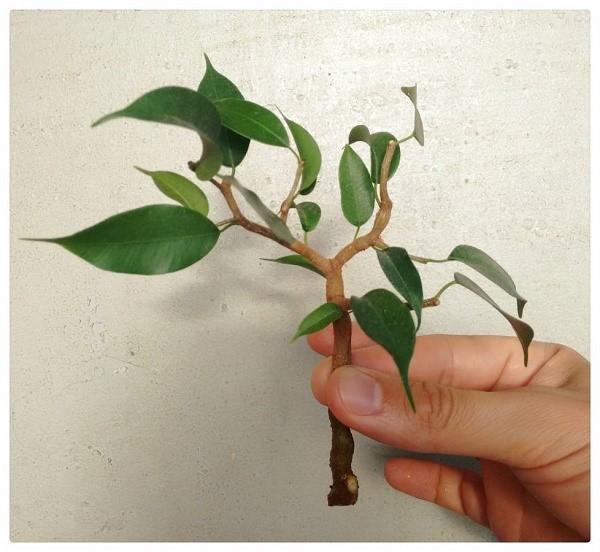Черенок для бонсая можно взять даже у комнатного растения