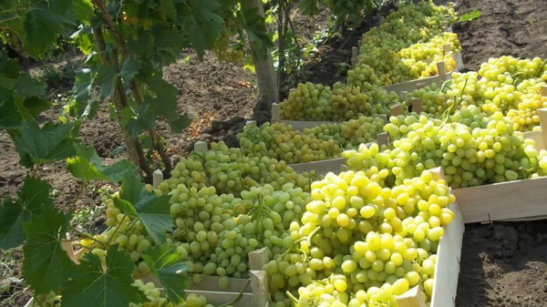 Ранние сорта винограда созревают всего за 100-110 дней