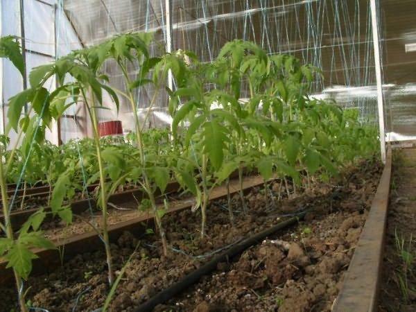 Хорошо на таких грядках растут помидоры, кабачки