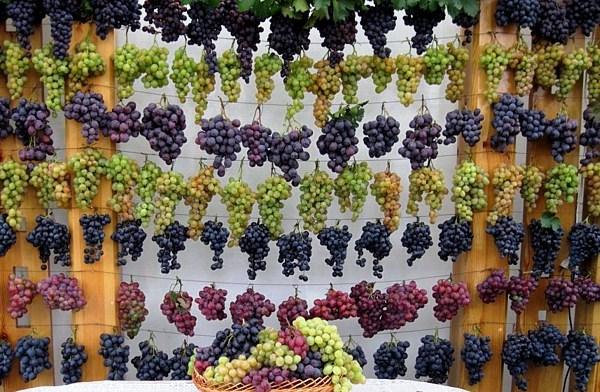 Разнообразие сортов винограда даёт широкий выбор будущему садоводу