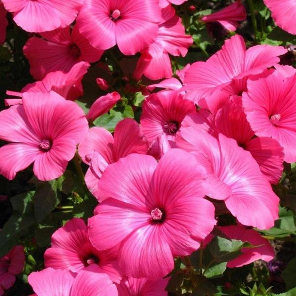 Многолетники цветут и радует глаза людей очень долго