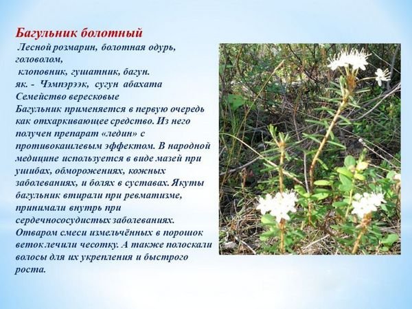 Данное растение славится своими лекарственными свойствами