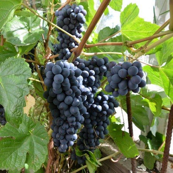 Важно, чтобы виноград рос в подходящих условиях