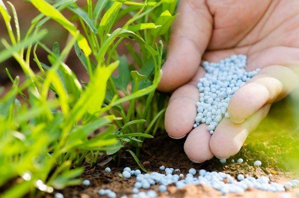 Чаще всего вносят удобрения корневым способом