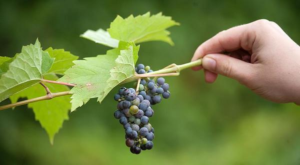 Ранние сорта винограда устойчивы к различным заболеваниям