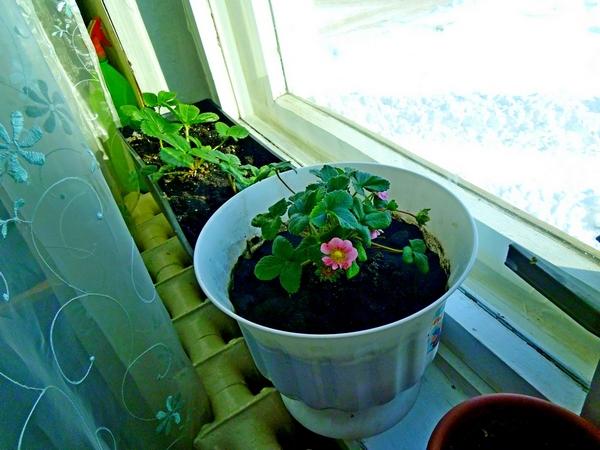Выращивать клубнику в домашних условиях не слишком трудно