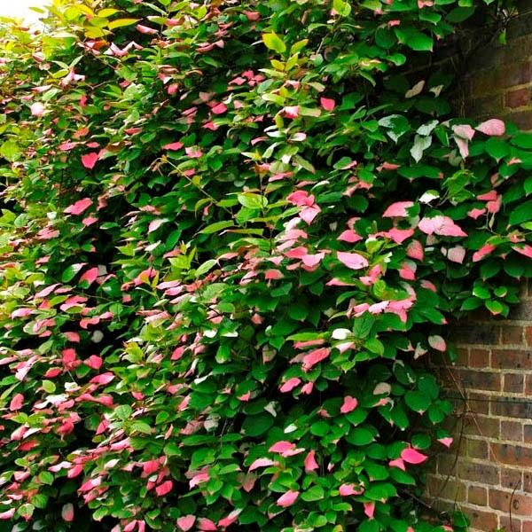 Оптимально будет посадить актинидию у стены дома, дабы задекорировать ее, и дать растению опору для того, чтобы расти вверх