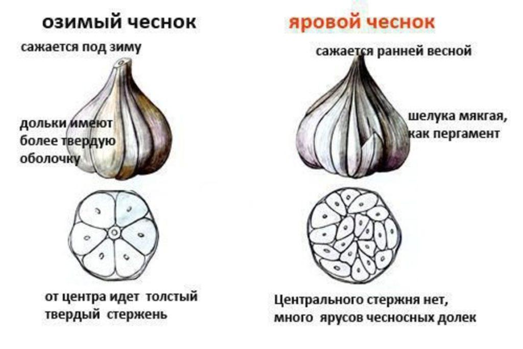 Разница в строении ярового и озимого видов