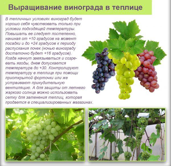 Важно обращать внимание на условия, в которые будет посажен виноград