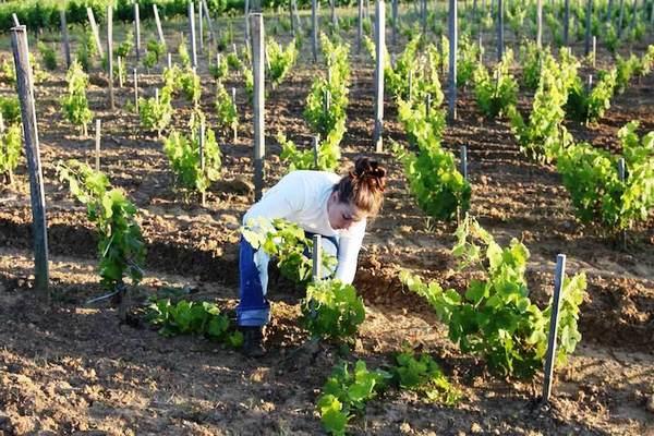 Важно ухаживать за виноградом