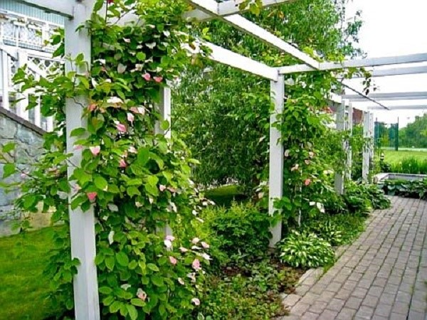 Также можно сделать для актинидии иные опоры в виде шпалер или изгороди, самостоятельно продумав их дизайн