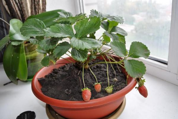 Условия для выращивания клубники создать нетрудно