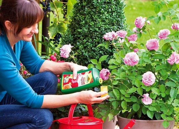 Весной минеральные вещества вымываются из почвы, поэтому розу нужно подкармливать