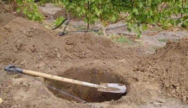Прежде, чем высадить актинидию, необходимо выкопать для нее посадочную яму
