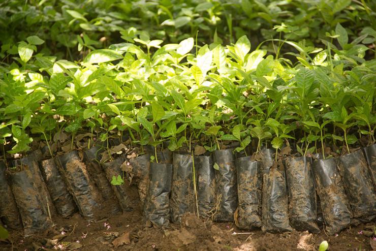 Банановая кожура позволяет саженцам быстрее приспособиться в открытом грунте