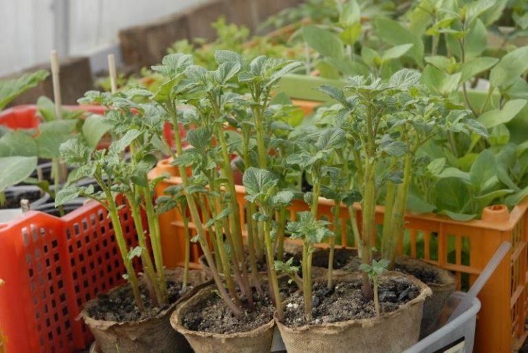 шелковица из семян в домашних условиях