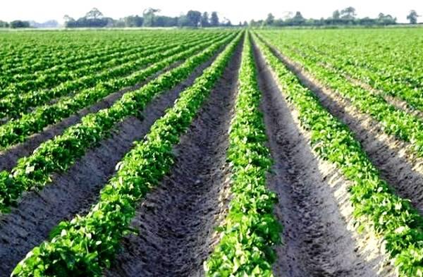 Действенная технология выращивания картофеля семенами