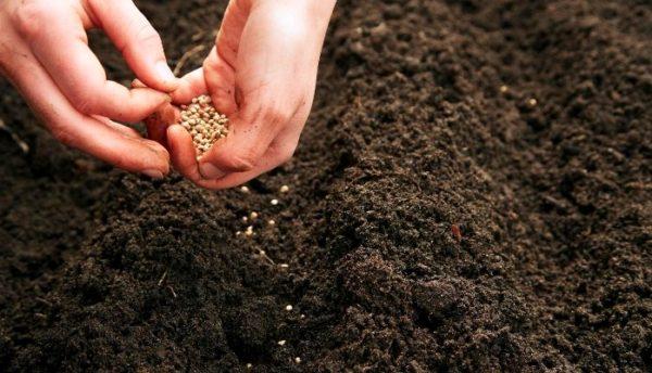 Допускается выращивание безрассадным методом