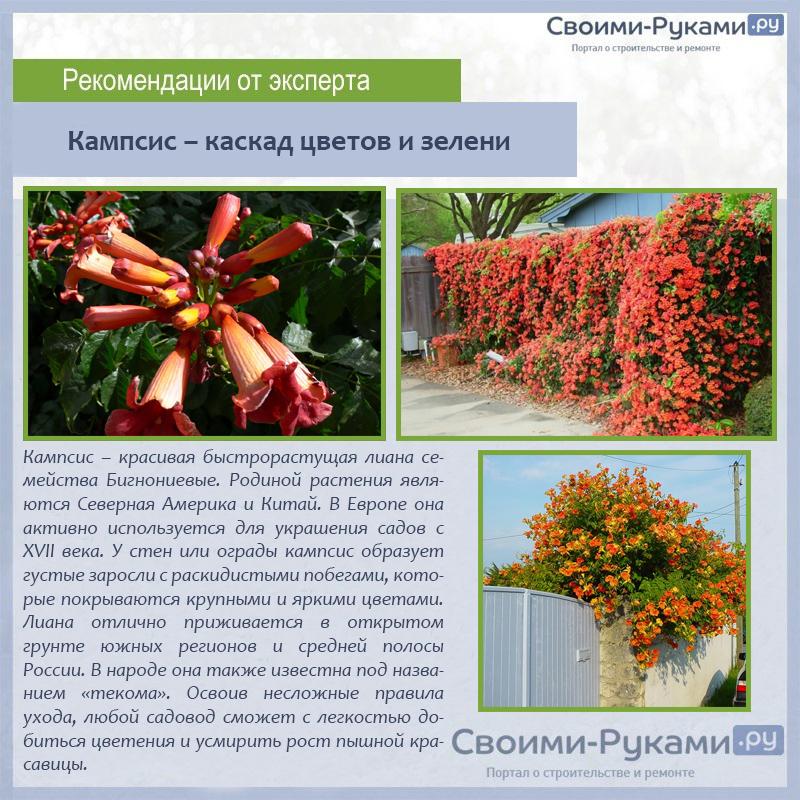 Кампсис – каскад цветов и зелени