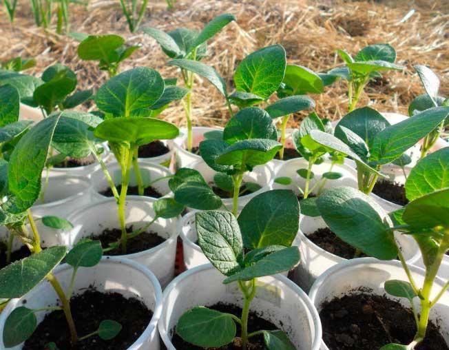 Когда начинать выращивание рассады картофеля