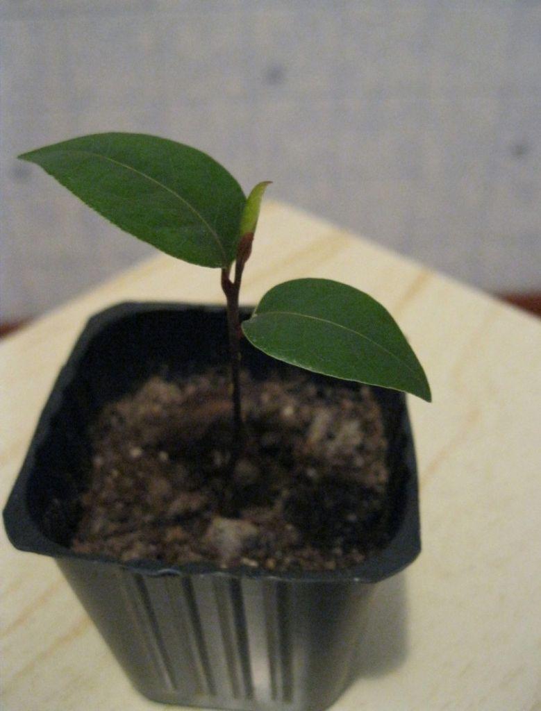 Когда появится 2 листка, лавр можно пересаживать