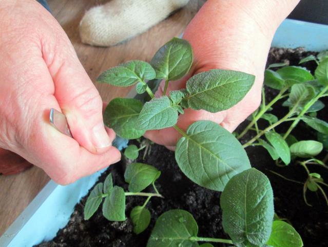Пикировка рассады картофеля