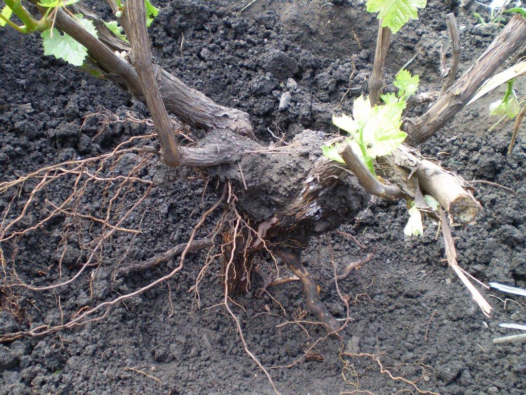 Поверхностное расположение корней винограда вредит его здоровью