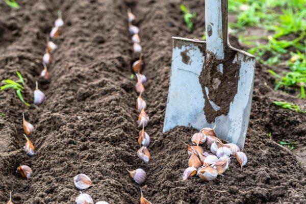 Важным условием является своевременное укоренение посевного материала в грунте