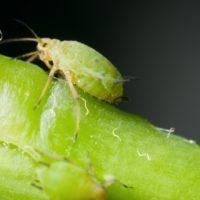 Тля уничтожает молодые побеги и листья, нераскрывшиеся бутоны