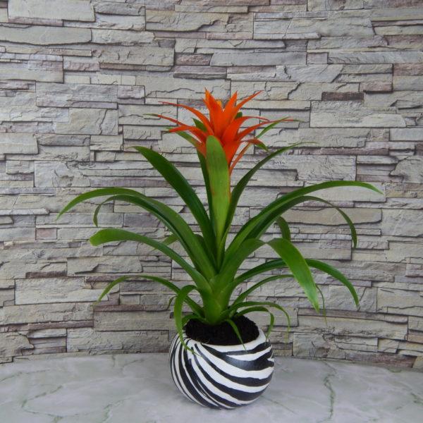 Гузмания – мужской цветок