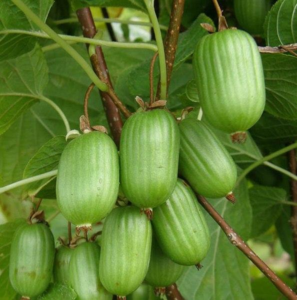 В одной ягоде актинидии содержится половина суточной нормы поступления в организм человека аскорбиновой кислоты