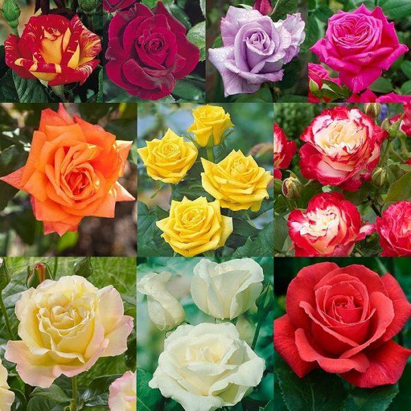 виды роз с фото и названиями казани, купить товары