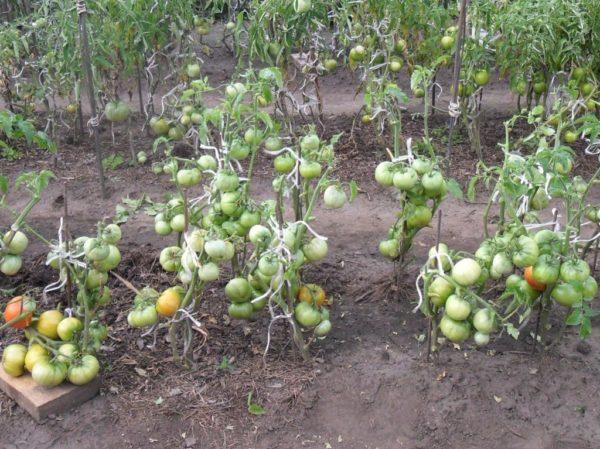 У каждого способа выращивания есть и плюсы, и минусы, но если вы выбрали открытый грунт, то, прежде всего, стоит обдумать, какие сорта помидоров лучше всего для этого подходят