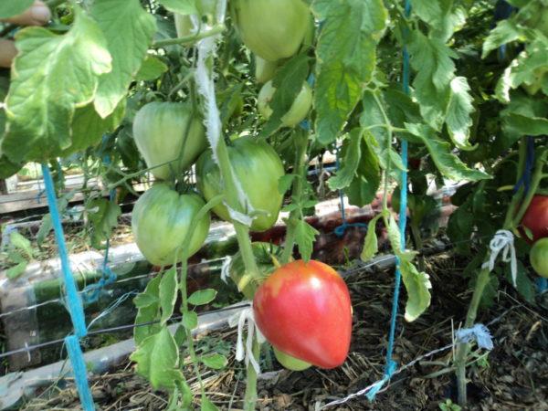 Сибирским томатам не страшны капризы местного климата